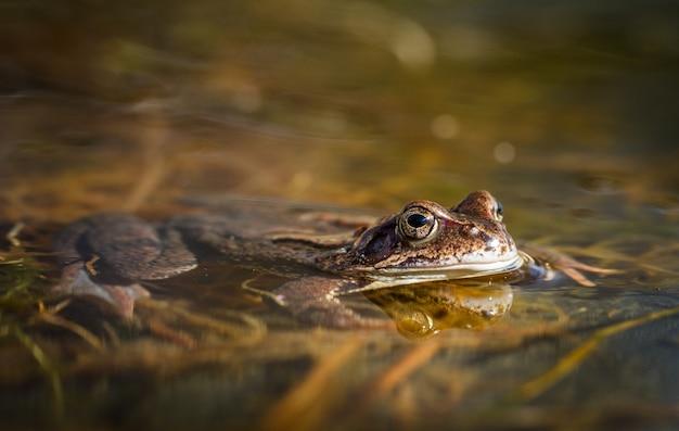 Rã comum, rana temporaria, em uma lagoa do jardim na noruega. vista de frente. primavera em abril