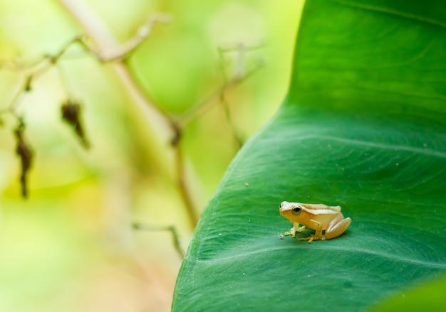 Rã de árvore dourada do bebê na folha do taro no dia da manhã, rã de árvore comum.