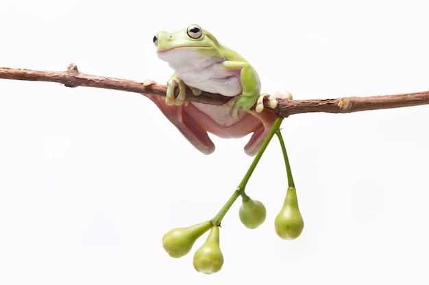 Rã de árvore verde no galho da maçã rosa