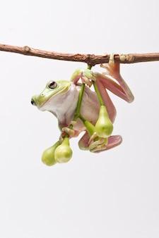 Rã de árvore verde pendurada na maçã cor-de-rosa