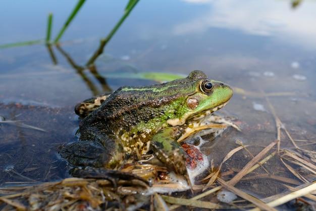 Rã do lago (pelophylax lessonae), rã do pântano (pelophylax ridibundus), rã comestível (pelophylax esculentus) no tanque. o sapo verde está escondido na água. foto de alta qualidade