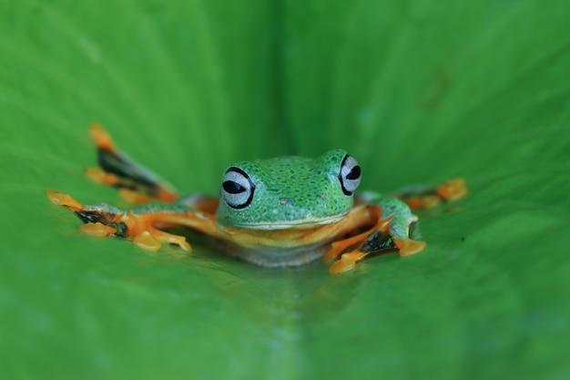 Rã voadora com cara de close na folha verde