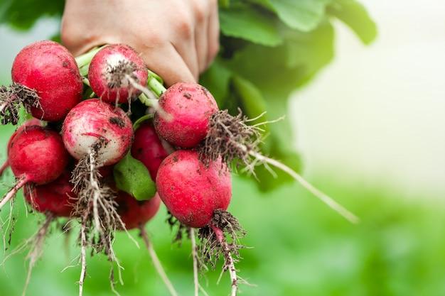 Rabanete orgânico fresco nas mãos da criança. comida saudável.