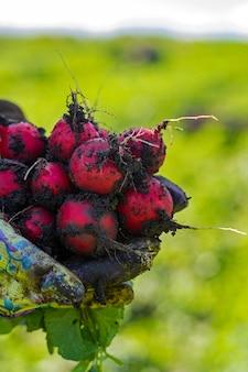Rabanete vermelho no campo durante a colheita.