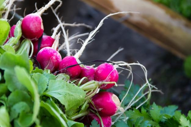 Rabanetes colhidos na horta orgânica à venda na feira de rua