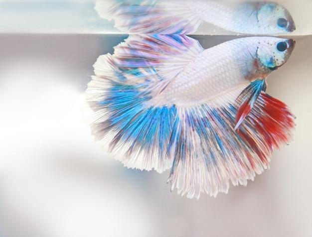 Rabo de peixe beta vermelho branco nadar no tanque de água