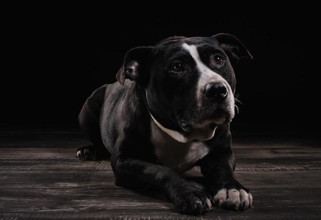 Raça americana stafford terrier