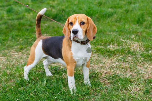 Raça de cachorro beagle em pé na grama verde