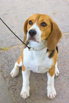 Raça de cachorro beagle sentado na grama verde