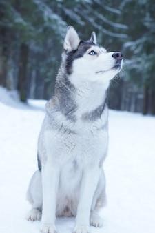 Raça de cachorro husky senta-se na neve na floresta no inverno e olha para o céu.