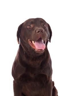 Raça de cachorro labrador preto lindo