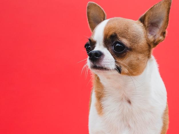 Raça de cachorro pequeno bonito olhando para longe fundo vermelho