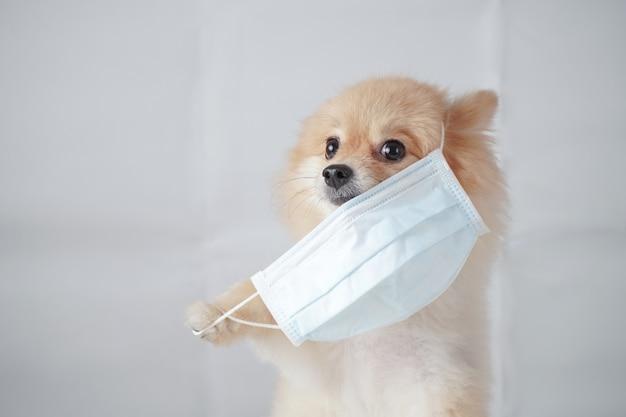 Raça de cachorro pequeno ou pomerânia com cabelo castanho claro sentado e vestindo uma máscara de poluição pm2.5. é desconfortável, então tenta puxar a máscara