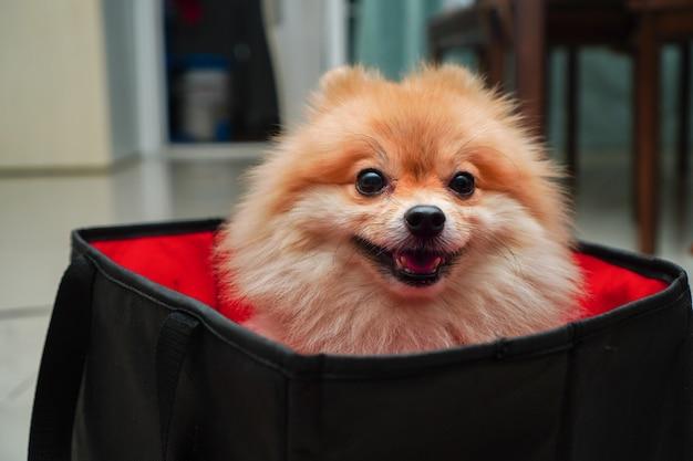 Raça de cachorro pequeno ou pomeranian em uma bolsa preta