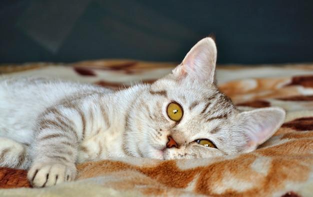 Raça de gato malhado escocês