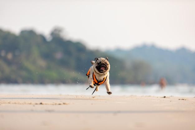 Raça de pug cachorro correndo na praia com colete salva-vidas