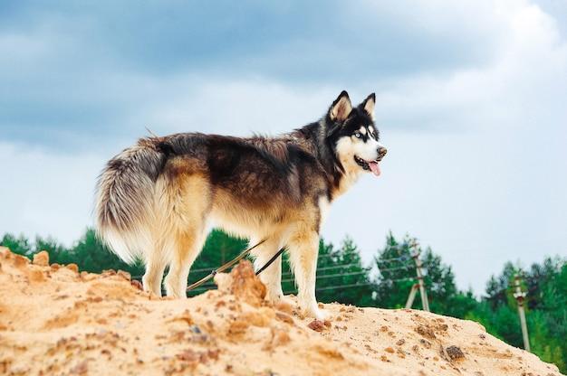 Raça do cão ronca em uma montanha arenosa contra o céu azul.