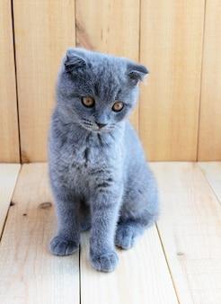 Raça escocesa de gatinho com orelhas cortadas. assista com atenção.