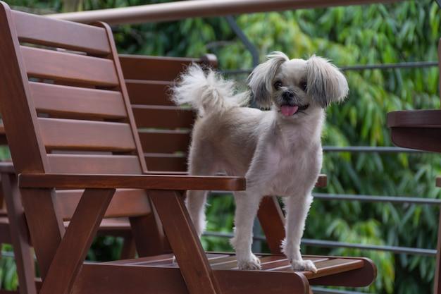 Raça misturada tão bonito do cão com shih-tzu, pomeranian e caniche na cadeira