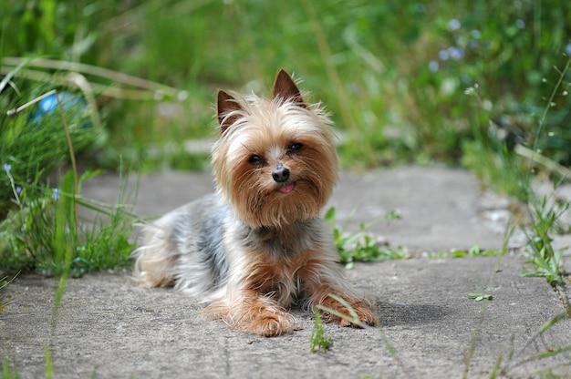 Raça pequena do cão yorkshire