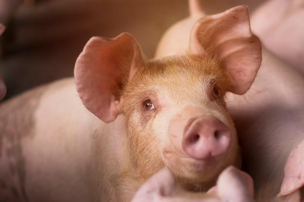 Ração de espera de leitão pequeno. porco dentro de um quintal de fazenda na tailândia. suínos na baia. feche os olhos e desfoque. animal do retrato.