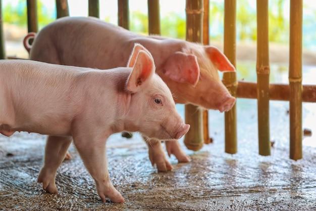 Ração de espera de leitão pequeno. porco dentro de um quintal de fazenda. suínos na baia. feche os olhos e desfoque. animal do retrato.