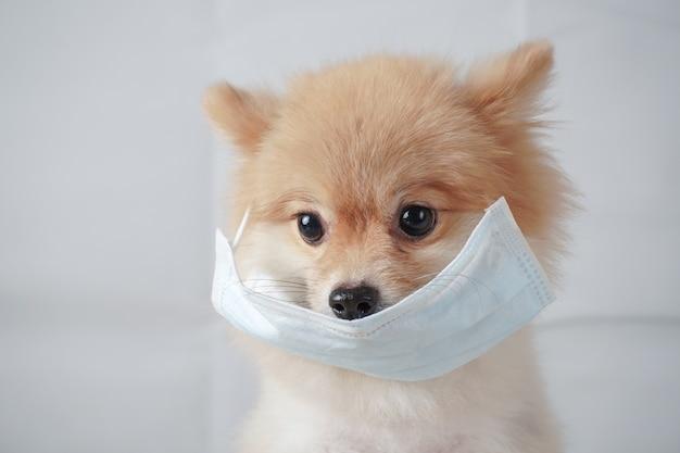 Raças de cães pequenos ou pomerânia com cabelos castanhos, sentado na mesa branca e usando máscara para proteger uma poluição ou doença. parece cansado.