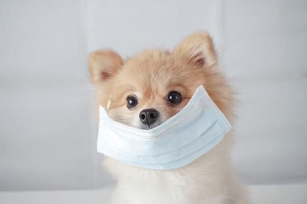 Raças de cães pequenos ou pomerânia com cabelos castanhos, sentado na mesa branca e usando máscara para proteger uma poluição ou doença