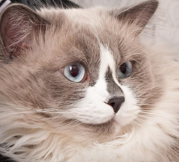 Ragdoll raça de gato cara close-up