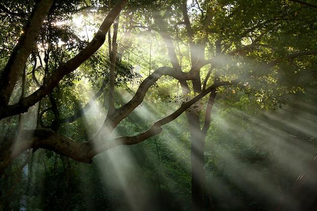 Raio de sol da árvore