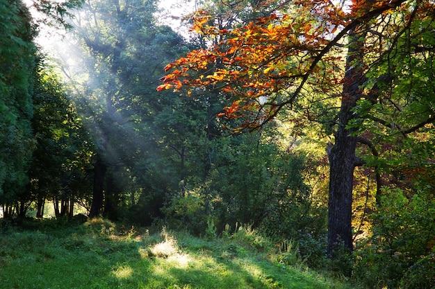 Raios da manhã na floresta no verão.