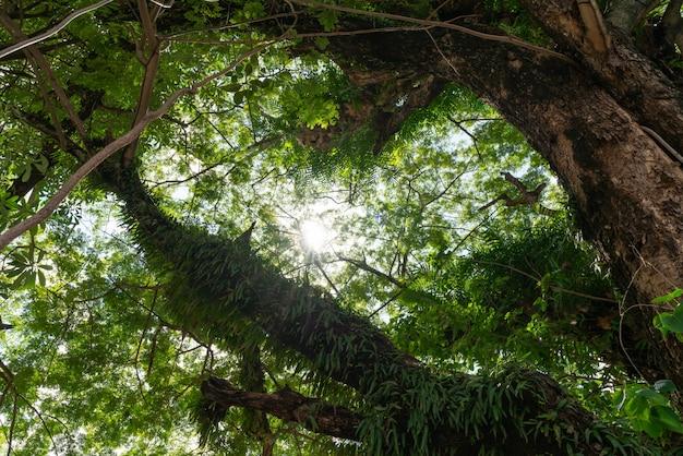 Raios de luz do sol caindo através de árvores criam uma atmosfera encantadora em uma floresta verde fresca.