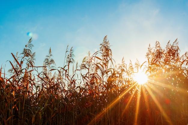 Raios de sol através da grama. luz de fundo de luz solar.