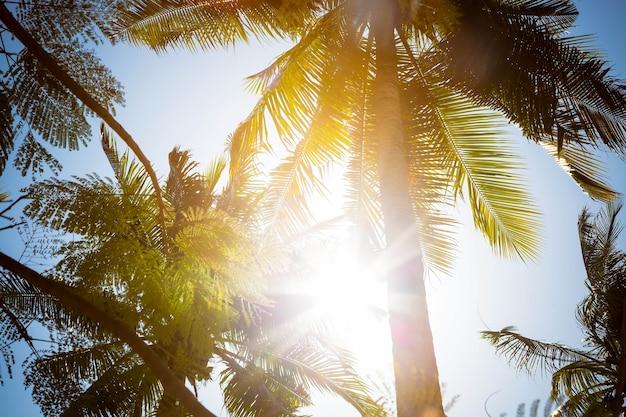 Raios de sol brilham diretamente na câmera através de folhas verdes e galhos de altas palmeiras tropicais