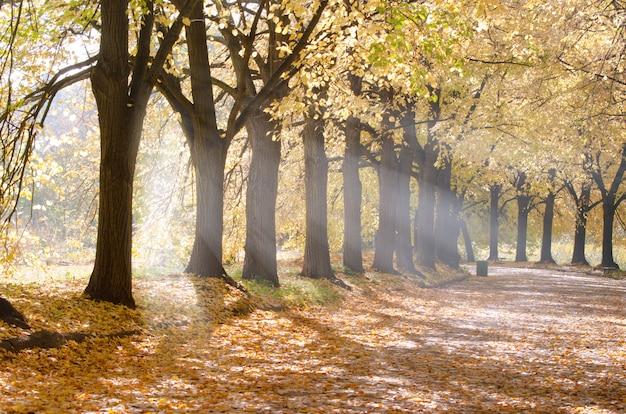 Raios de sol da manhã atravessa árvores de beco em linha reta no parque da cidade.
