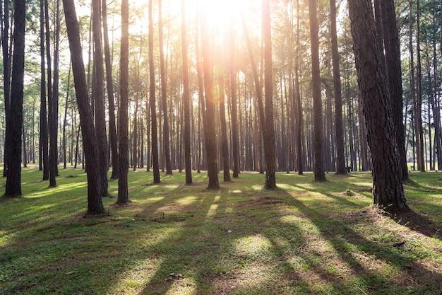 Raios de sol da manhã linda na floresta de pinheiros.