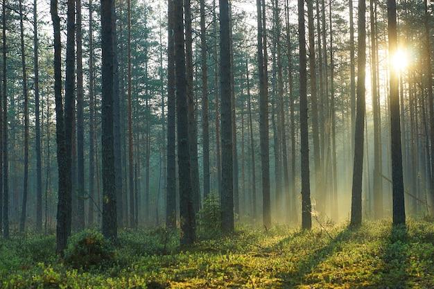 Raios de sol da manhã passam por pinheiros