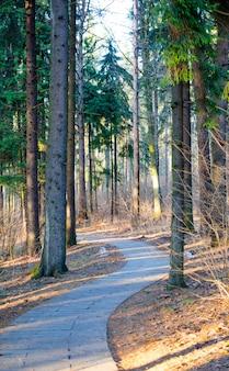 Raios de sol do pôr do sol de noite na floresta de pinheiros de inverno