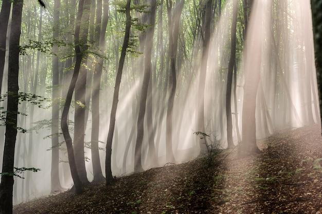 Raios de sol na floresta de faias. raios de sol passam pela manhã na floresta decídua.