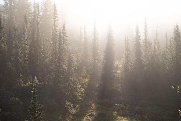 Raios do sol da tarde rompendo as nuvens e o nevoeiro até o prado das florestas de coníferas nas montanhas