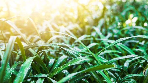 Raios solares em lâminas de grama molhada