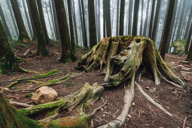 Raiz gigante de pinheiros de vida longa com musgo na floresta