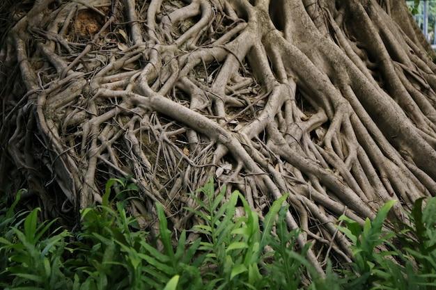 Raiz grande da árvore de banyan
