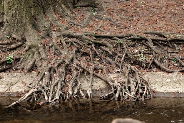 Raízes das árvores, sistemas radicais radiantes sob a árvore