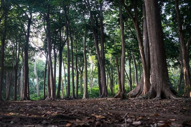 Raízes de árvores antigas na bela floresta. árvores incríveis do período jurássico. troncos de árvore altos com uma copa exuberante