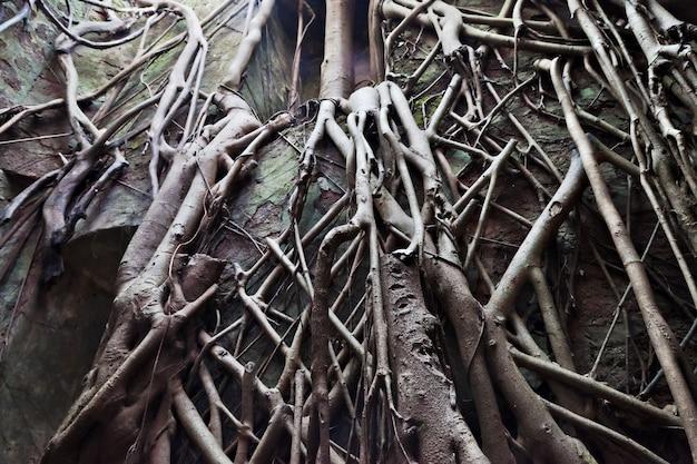 Raízes de árvores antigas