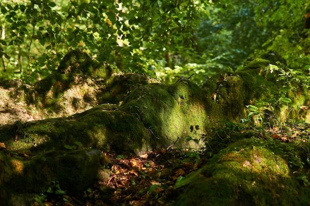 Raízes de árvores cobertas de musgo em uma trilha em uma floresta subtropical semiescura