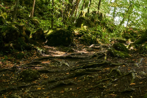Raízes de árvores em uma trilha em uma floresta subtropical semiescura