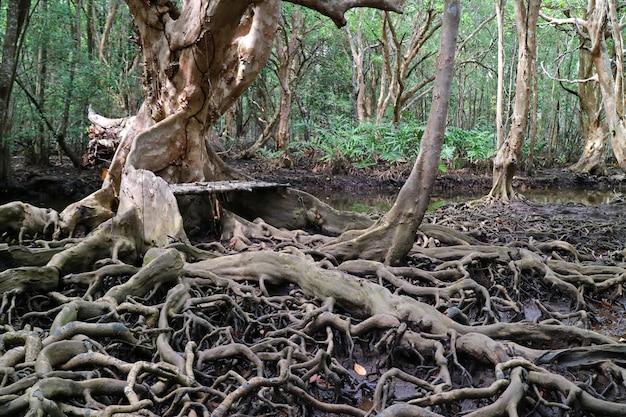 Raízes de árvores incríveis na floresta de mangue, província de trat da tailândia
