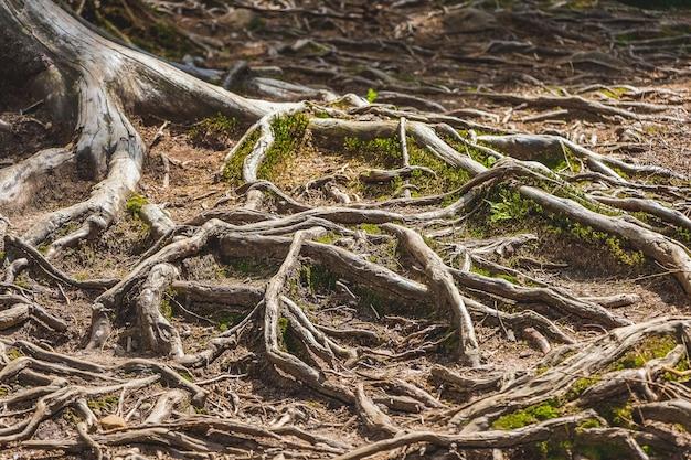 Raízes de árvores na superfície do solo